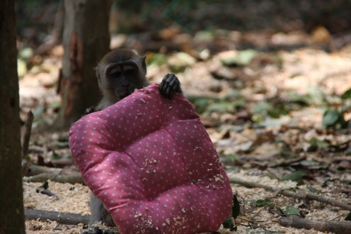 Wild monkey stole a pillow from a bike (I warned you)