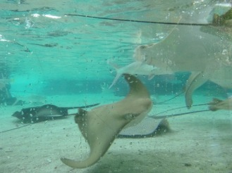 Watching Stingrays underwater